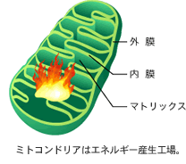 mitochondria.png.pagespeed.ce.oaesaPQ3xw.png